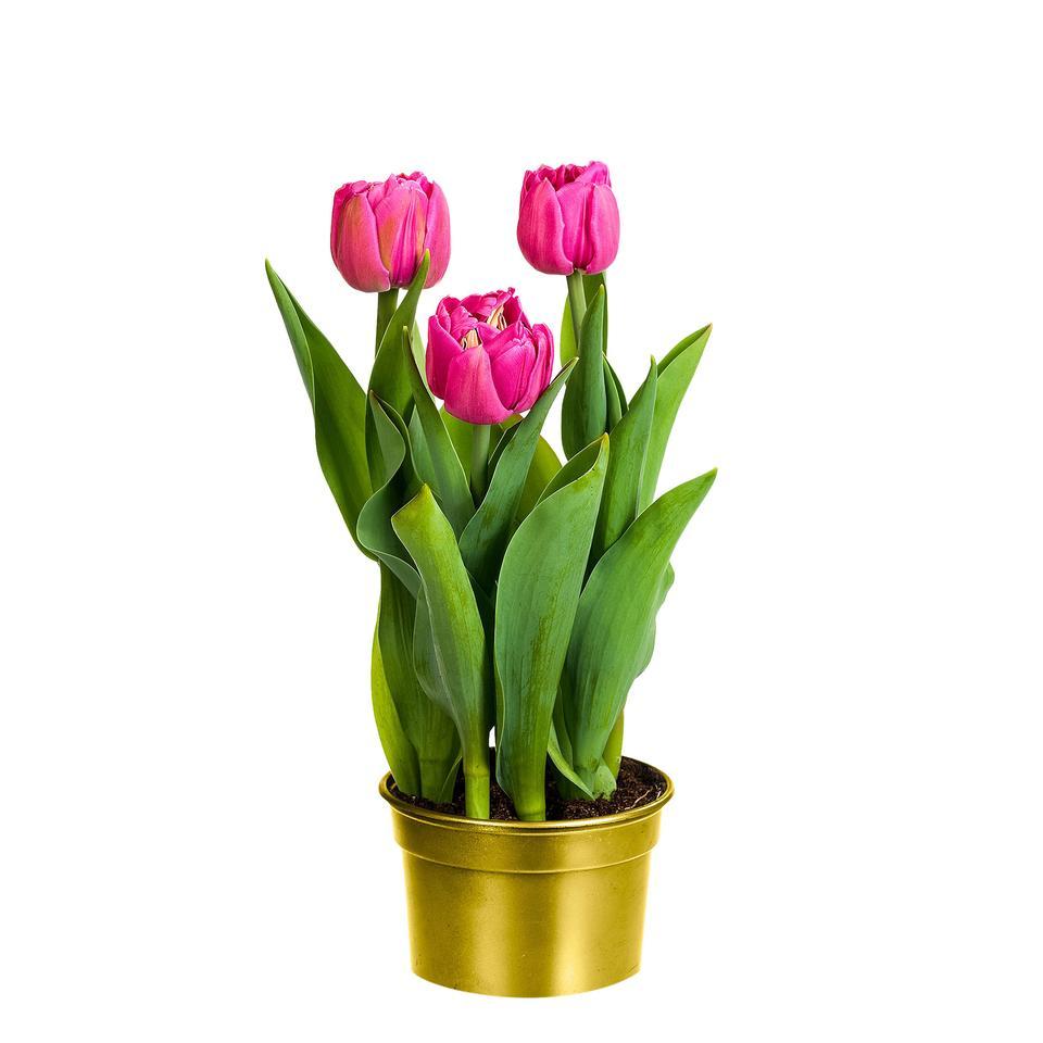 dubbelbloemige-tulpen-roze