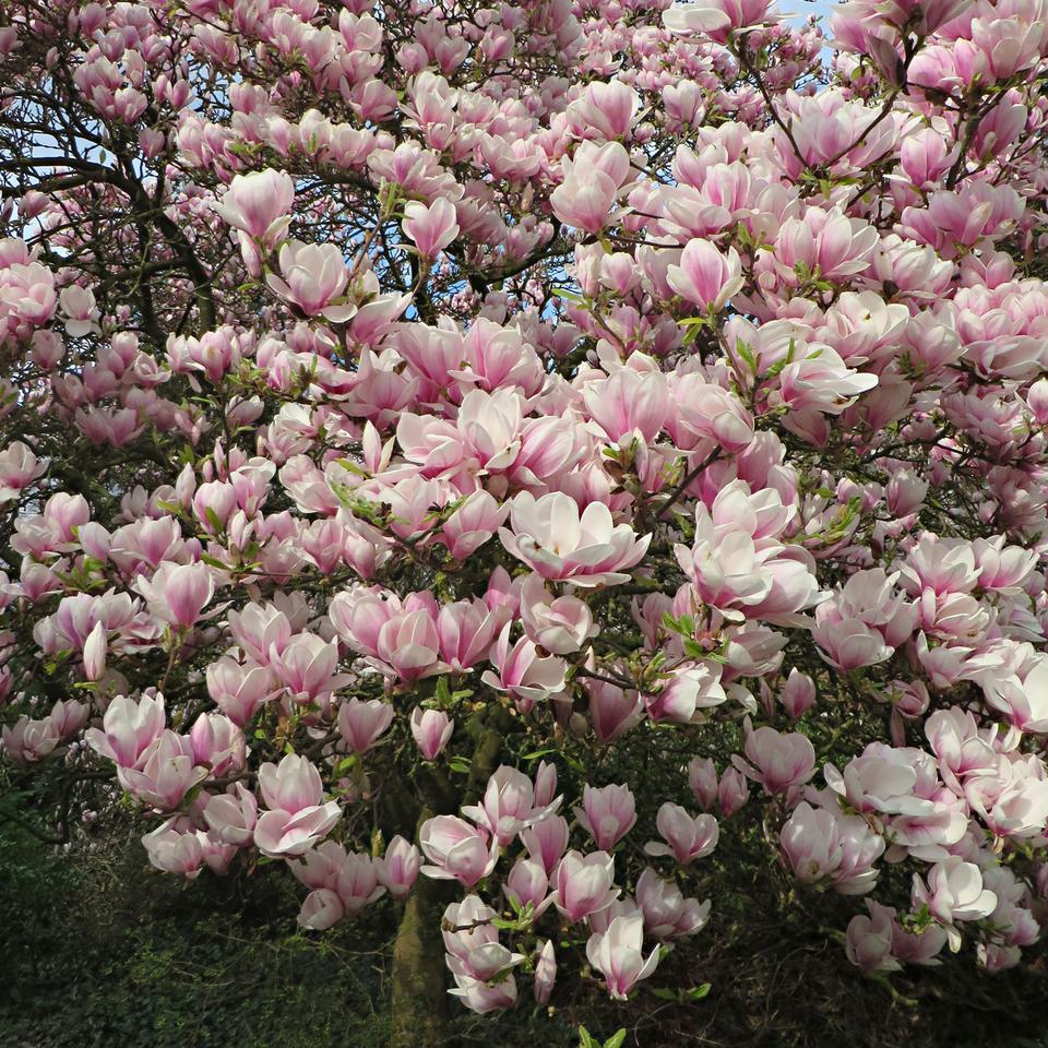 magnolia-boom