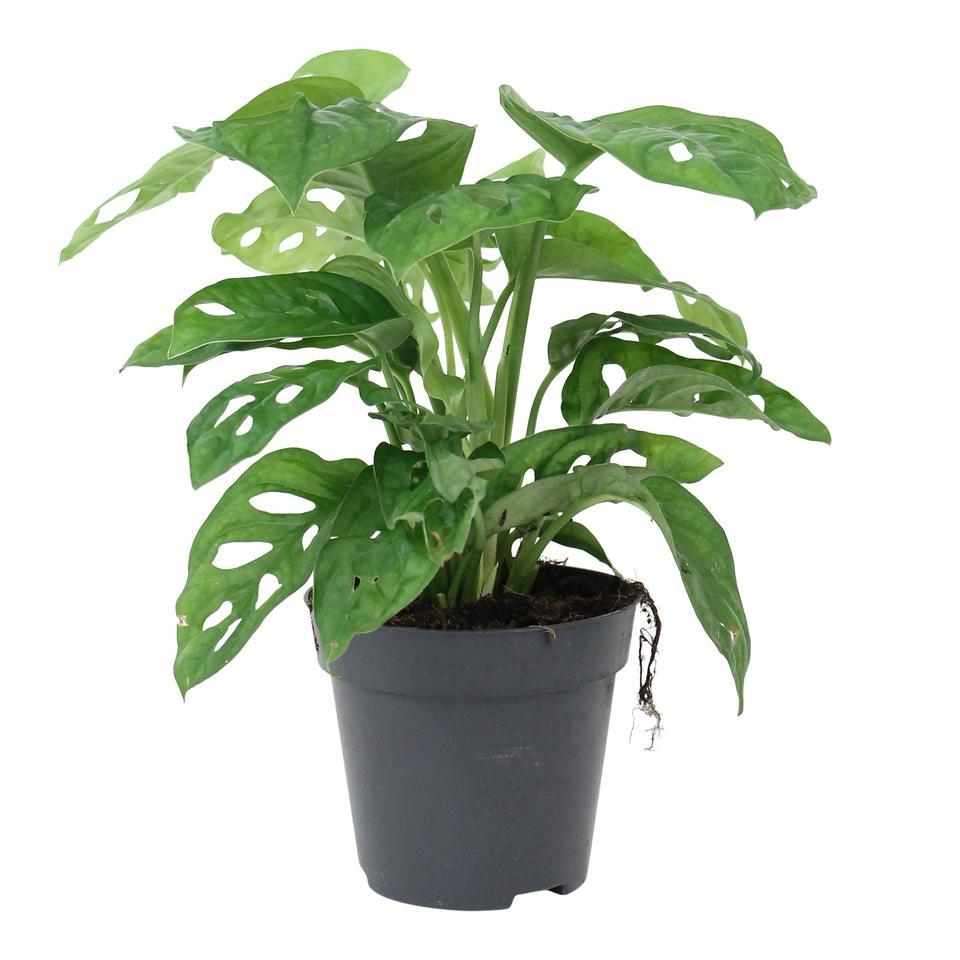 monstera-monkey-leaf