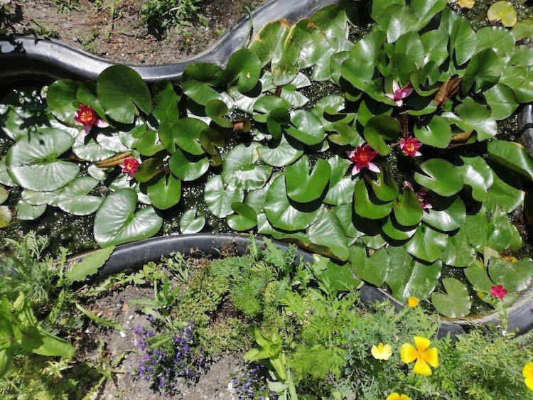 vijverplanten-waterlelies
