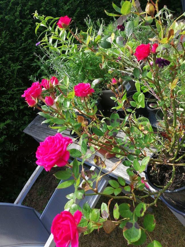 kleine-roze-roosjes