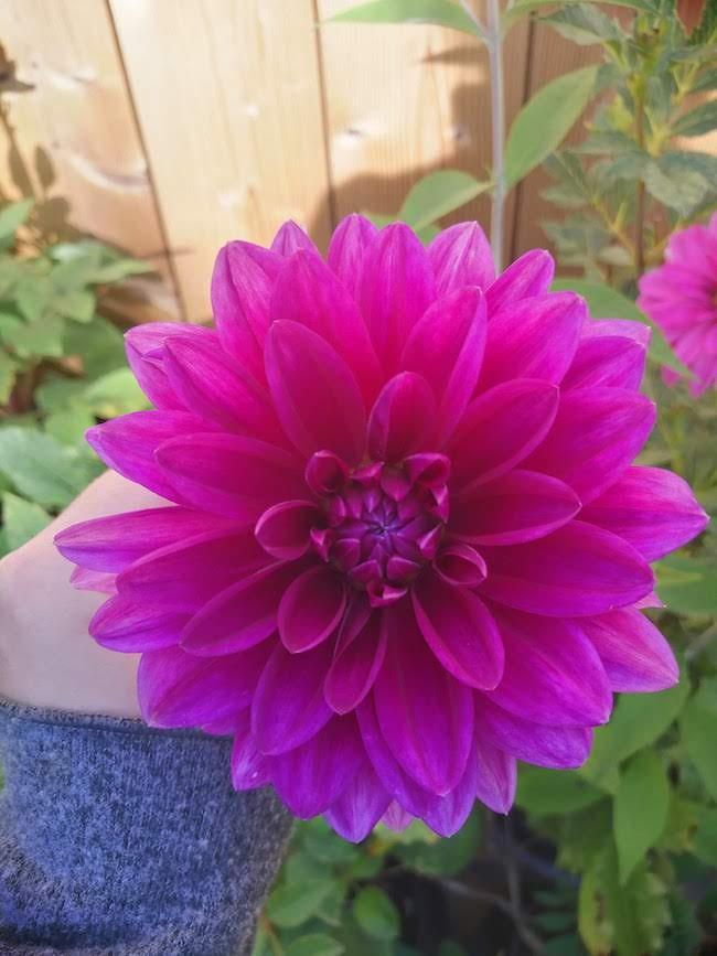 paarse-dahlia