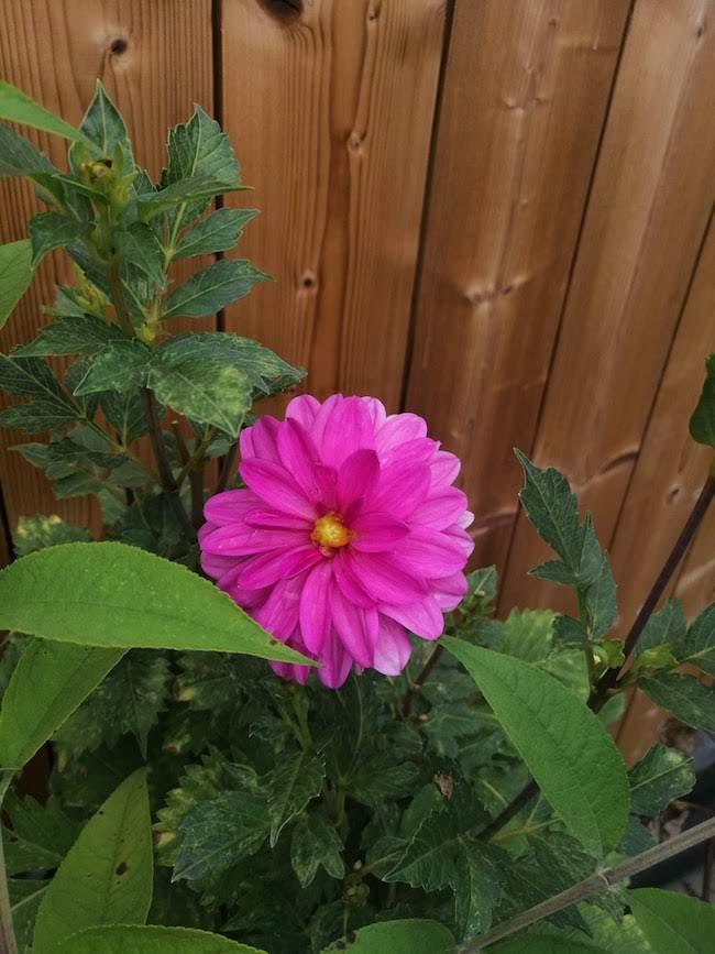 roze-dahlia
